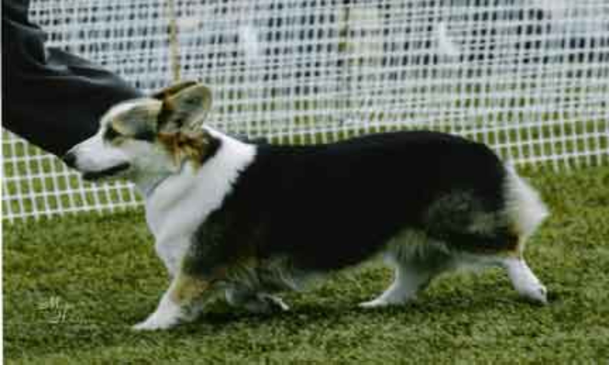 Corgis, a part of Life